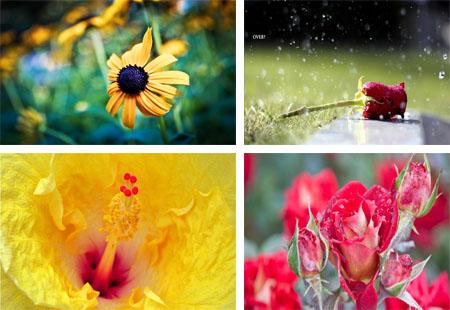 تصاویر گل های مریم