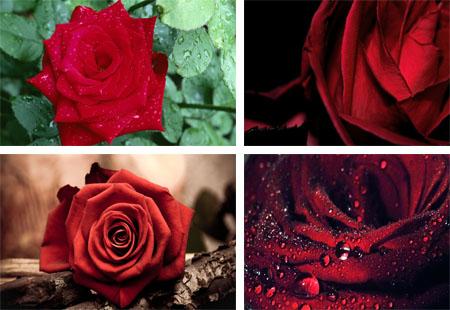 عکس گل های رز